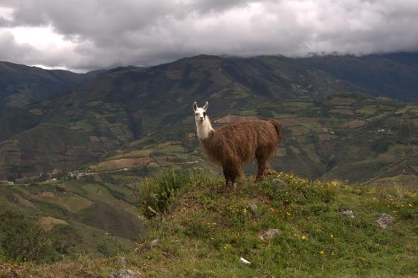 Llama at Kuelap
