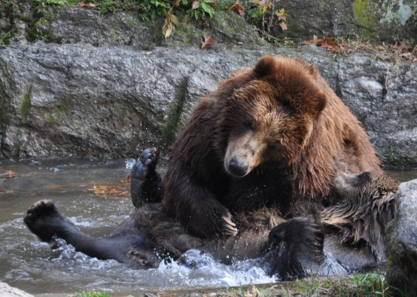 Bears playing in the Bronx Zoo