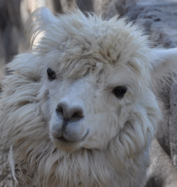 Alpacas are a common sight in the countryside around Cusco