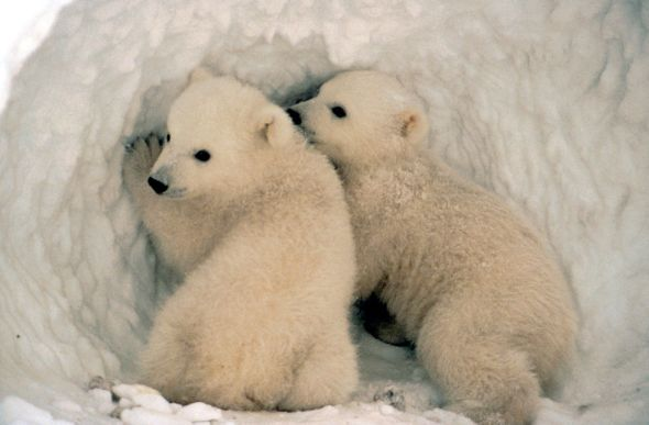 Polar bear cubs by US Fish and Wildlife Service (in the public domain)