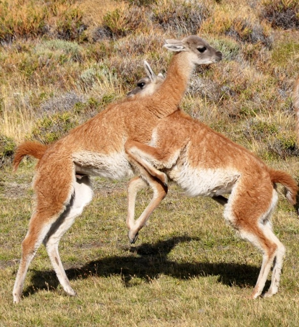 Young guanacos play-fighting