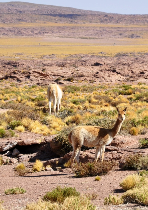 Vicuña graze the altiplano in family groups