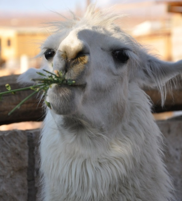 Llama feeding in the village of Toconao