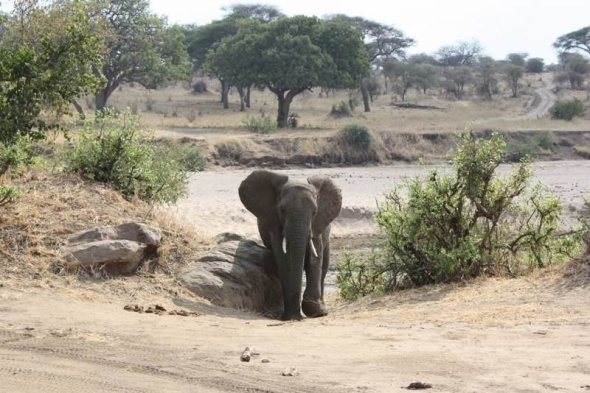 Male elephant scratching on a tree stump