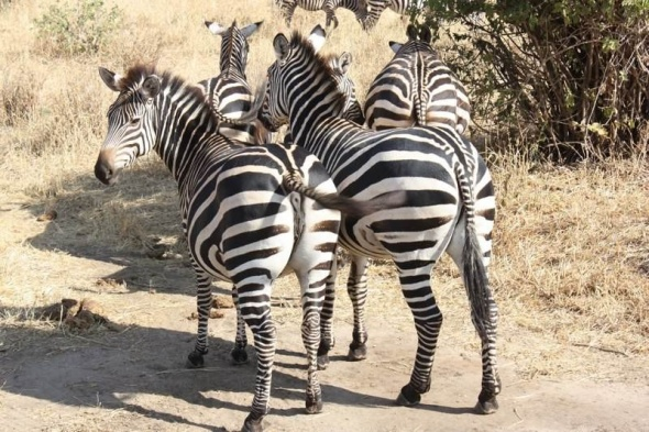 Mapunda's beloved zebras