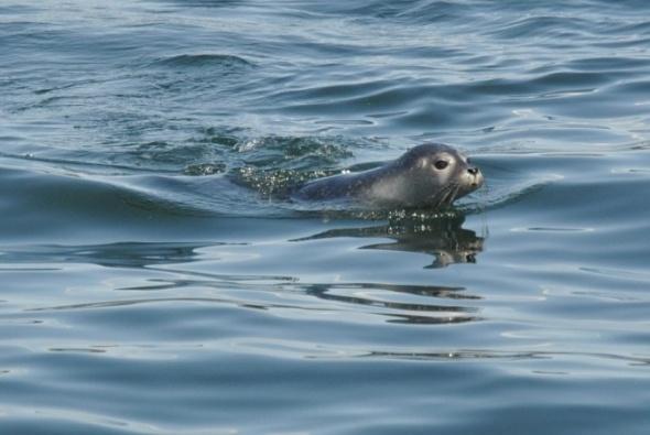 Seal at Egg Rock