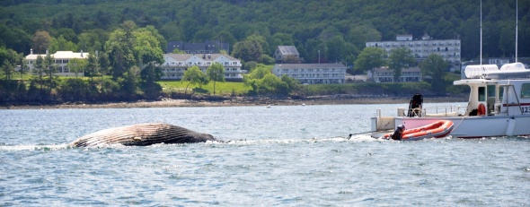 Dead humpback whale being towed in for an autopsy