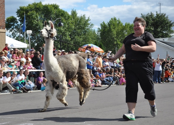 Some llamas run enthusiastically