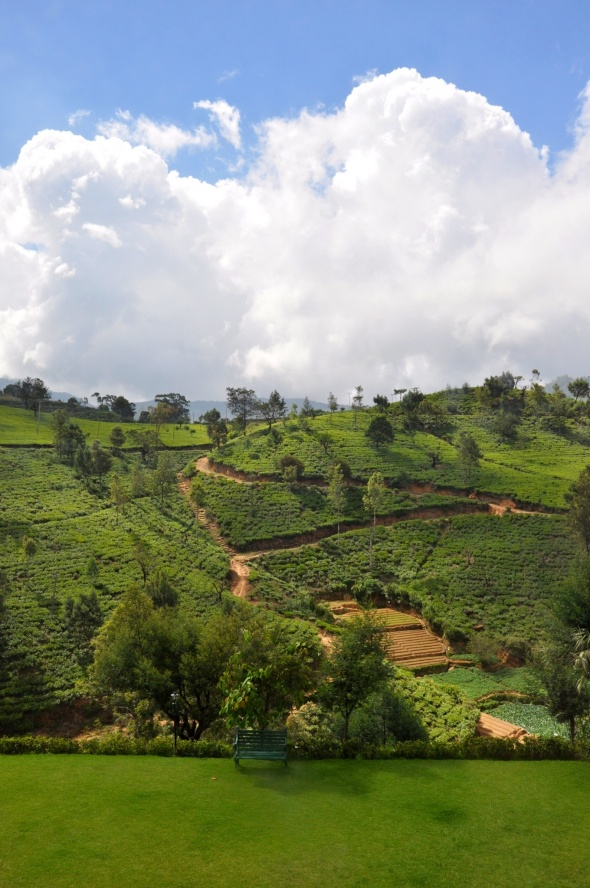 No shortage of tea bushes