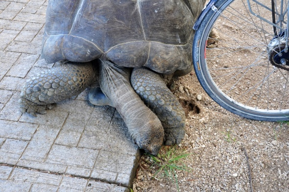 Giant tortoise - an usual road hazard