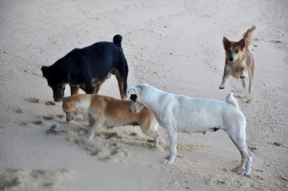 Beach dogs giving me a special welcome on Anse Union