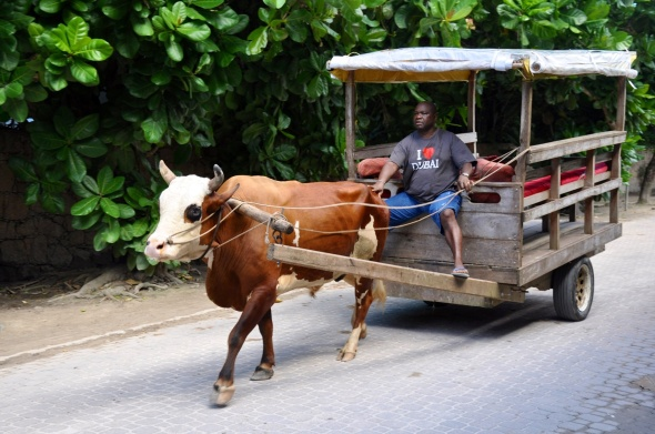 Ox cart - a rare sight