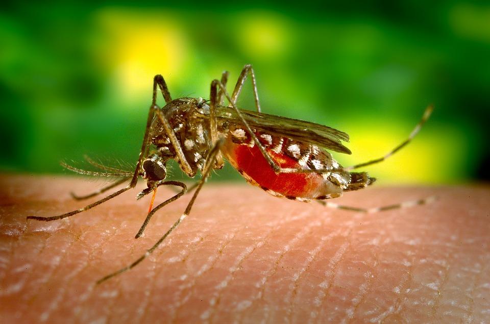 Biting Sucking Female Mosquito Parasite Disease