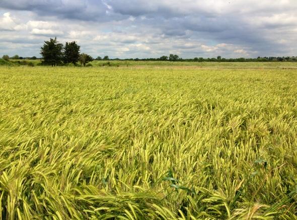 Salcott barley1