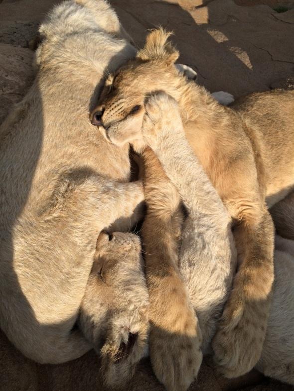 lion-cubs-829616