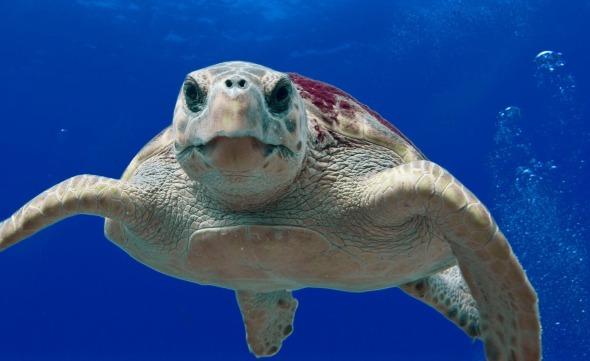 loggerhead-turtle-123402