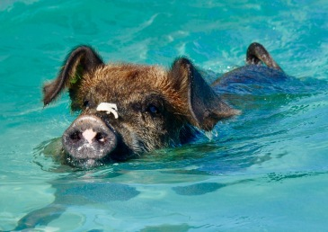How to see the Bahamas' famous swimming pigs | Julia's Travels